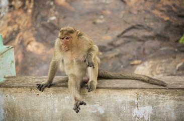 Monkey relaxing on rock wall