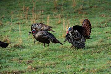 Wild Turkies Eating