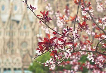 blooming cherry branch with cathedral at background