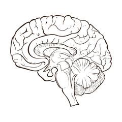 Structure of the human brain hemispheres