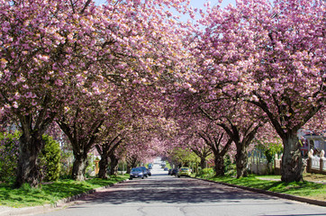 Spring Cherry Blossoms / Japanese Cherry Blossom trees bloom on a street in East Vancouver, British Columbia, Canada
