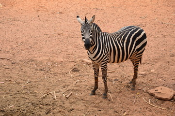 Zebra stand on field.