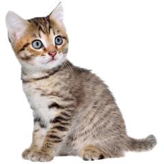 Shorthair brindled kitten