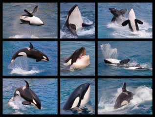 Wall Mural - Nine mosaic photos of killer whales (Orcinus orca)