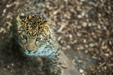baby leopard in a zoo