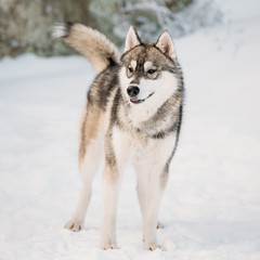 Young Gray Husky Dog Barking Outdoor In Snow. Winter