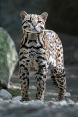 ocelot portrait while looking at you