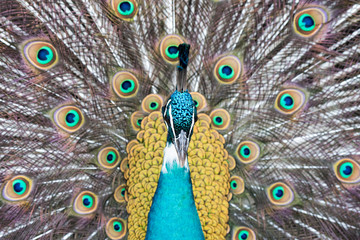 peacock bird close up portrait