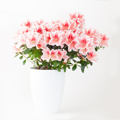 Foto auf Acrylglas Azalee Pink and white azalea flower plant in white pot on light backgro