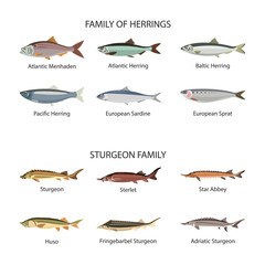 Fish vector set in flat style design. Herrings and sturgeon fishes. Ocean, sea, river fishes icons collection.