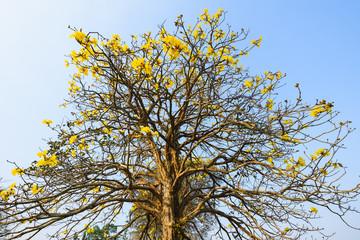 Supanika Flowers Cochlospermum regium with Blue Sky
