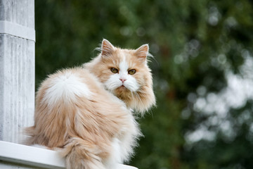 Adorable creamy colored Persian cat sitting on wood railing outdoors springtime.
