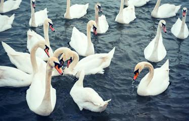 Big white swans