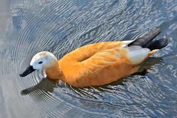 Tadorne casarca, canard orange
