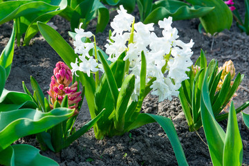 Flowering white, pink and blue hyacinths in spring garden, primroses, floral fragrance of spring flowers, bulbous flowers