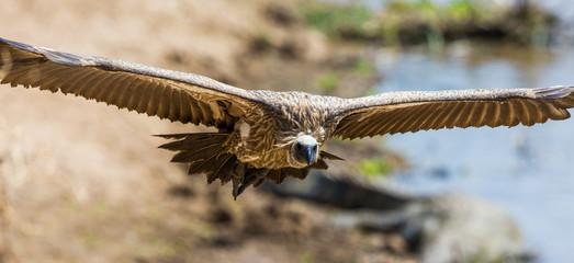 Predatory bird in flight. Kenya. Tanzania. Safari. East Africa. An excellent illustration.