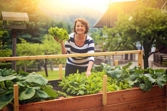 Frau erntet Salat vom eigenen Hochbeet/gardening 17