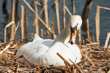 Female white swan in its nest, breeding
