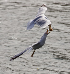 Beautiful jump of the gull for the food