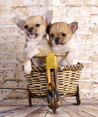 beautiful chihuahua puppies are traveling by bike