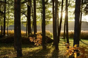 Obraz Słońce przebijające się przez drzewa jesienią - fototapety do salonu