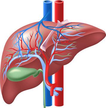 Illustration of Human Internal Liver and Gallbladder