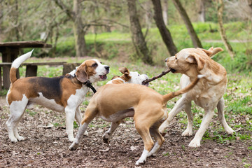 Dogs playing tug