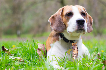 Beagle dog lying in the grass and watching