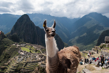 Poster Lama Machu Picchu