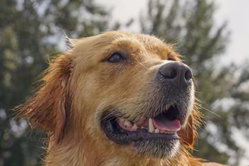 Wet golden retriever headshot