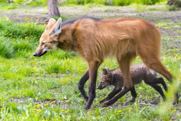 Maned wolf puppy