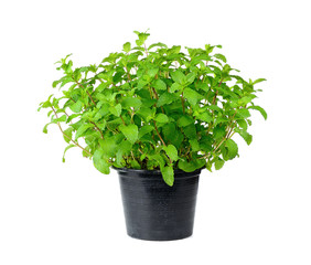 Fresh mint herb isolated on a pot over white