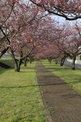 思川桜の並木通り / 栃木県の小山市にて思川桜の並木通りを撮ってきました。