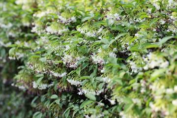 Wrightia religiosa Benth flower.