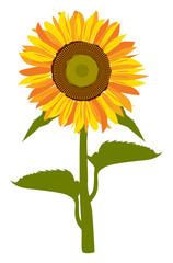Vector of Sunflower