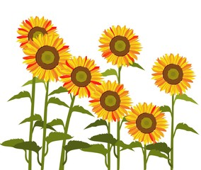 Vector of Sunflower