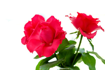 Two red rose flowers on a white background.