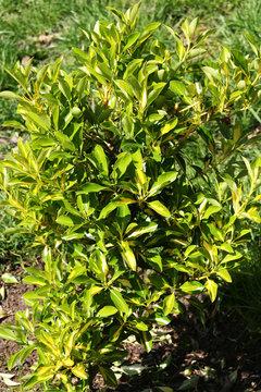 Молодой эвкалипт,с нежными зелеными листьями весенним утром.