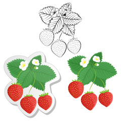 Strawberry plant and berries set. Collection of strawberries