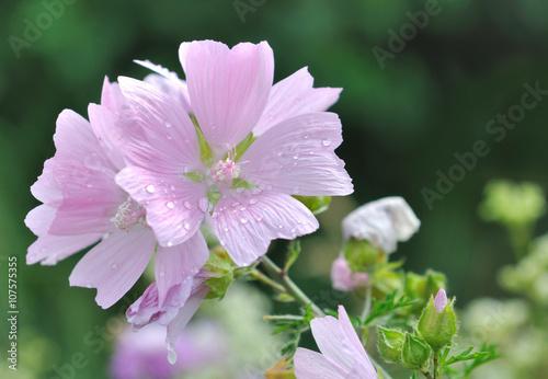 Rosee Sur Les Petale D Une Jolie Fleur Sauvage Rose Pale Photo
