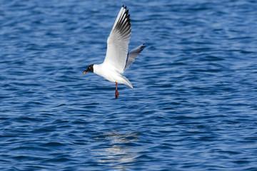 Sea Gull flying over the Mediterranean sea