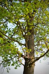 Oak in the countryside green