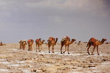 Afar herders lead a camel caravan. Danakil-Ethiopia. 0347
