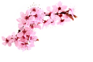 Spring flowers.  Spring pink blossom - flowers isolated on white background.