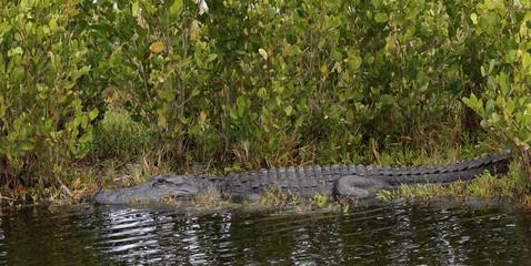 Mississippi-Alligator - [alligator mississippiensis]