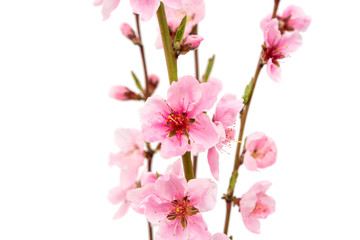 pink peach blossom isolated