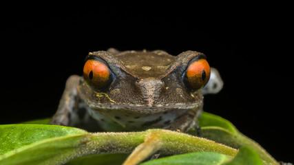 Leptobrachium hendricksoni, spotted litter frog
