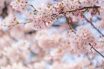 Fotomurales - Sakura or cherry blossom flower full bloom in spring season.