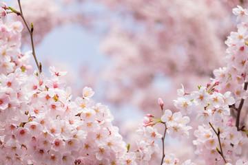 Fotomurales - Soft tone of sakura or cherry blossom flower full bloom in sprin
