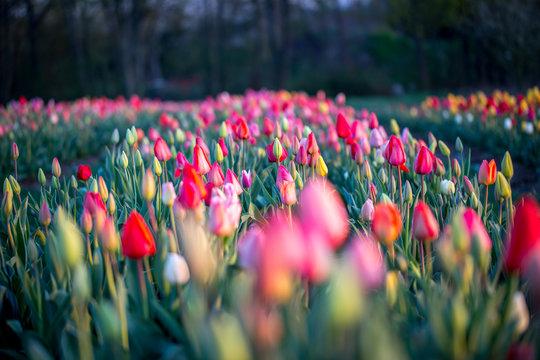 Tulpenfeld im Sonnenaufgang